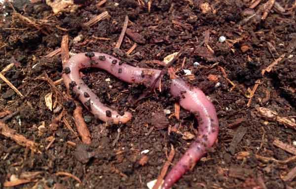 Mistwürmer: Kaufen, Züchten oder Sammeln